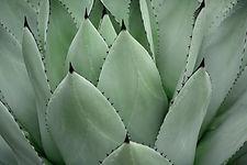 feuilles charnues