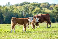 Calves & Cow in Pasture