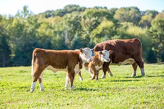 Bezerros e vacas em Pasto