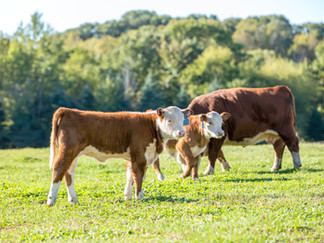 Veaux et vache au pâturage