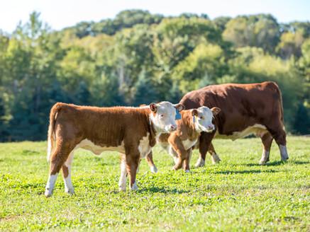 人奶給人喝,豬奶給豬喝——牛奶給誰喝?
