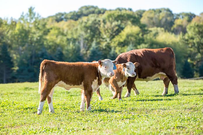 Terneros y vaca en la pastura