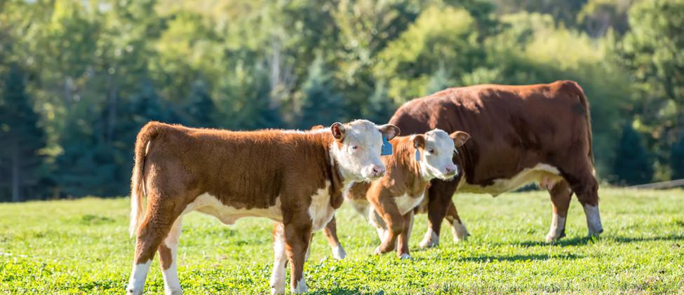 Vitelli e mucche al pascolo