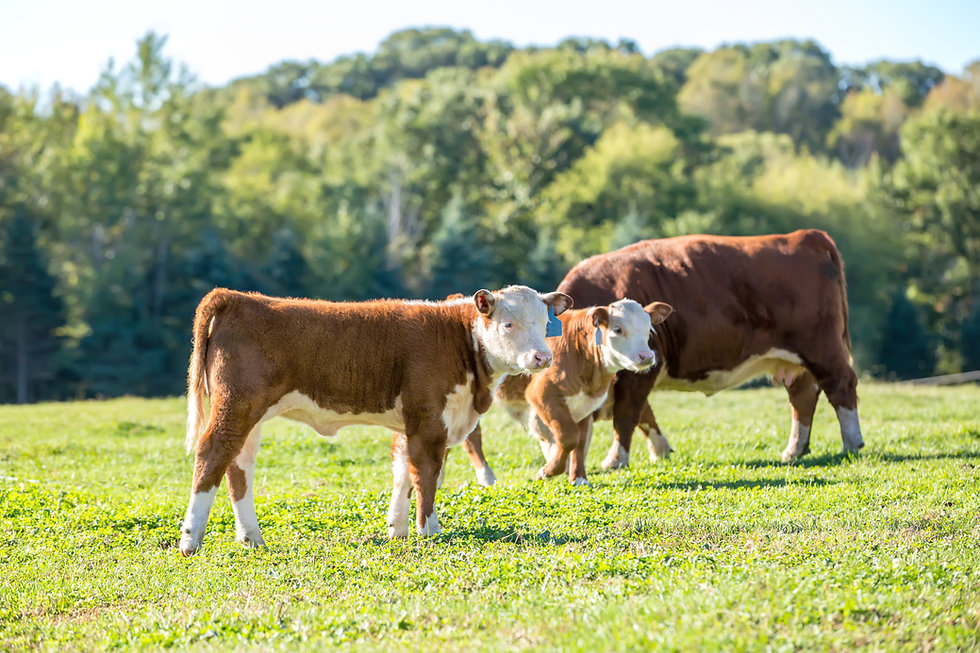 Calves & Cow in Pasture