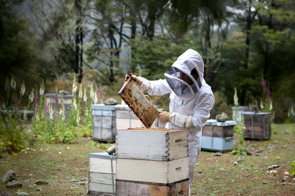 A beekeeper inspecting one of his hives.