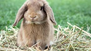 Neuer Erreger der hämorrhagischen Kaninchenkrankheit erreicht Österreich!