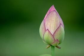 Blütenknospen Blütenblätter