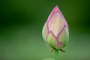 Flower Bud Petals