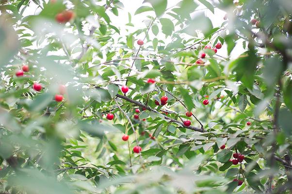 체리 나무