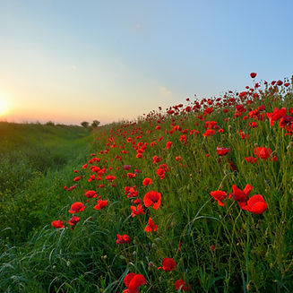 Sunset over Poppy Field