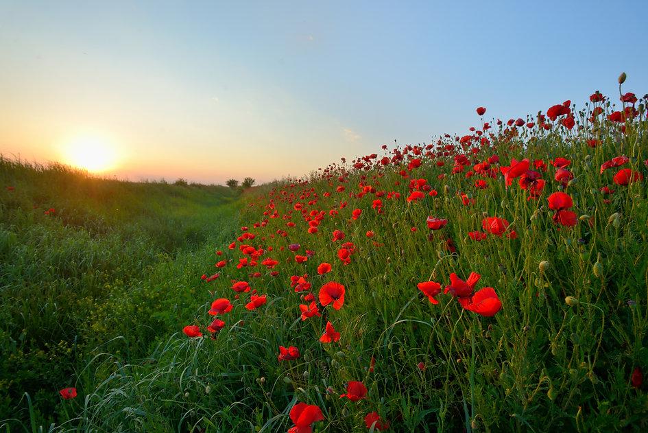 ケシ畑に沈む夕日