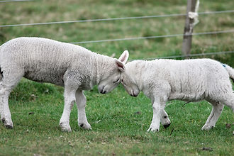 Sheep Farm