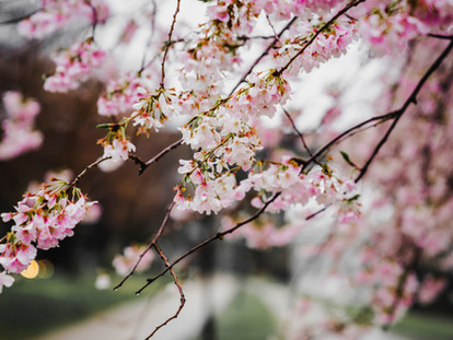 The Best Places to See Cherry Blossoms and Magnolia in London - Chelsea