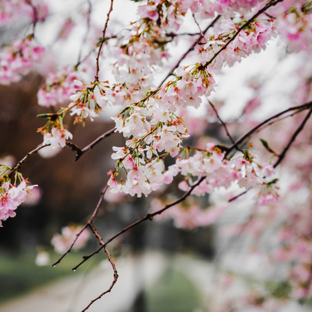 Best places to see cherry blossom in London and the South East