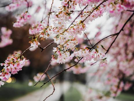 春がきた ー 花粉症・HAYFEVERの季節 Spring has sprung