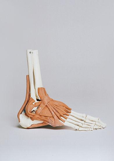 Modèle de muscles des pieds