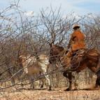 O vaqueiro e o boi entre juremas secas