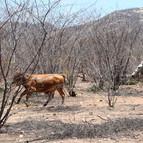vaqueiro persegue o boi na caatinga esturricada