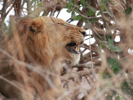 Die «Crazy Lions» – zwei Furcht erregende Tiere