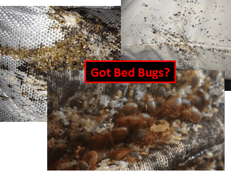 Bed Bugs nesting on mattress seams.png