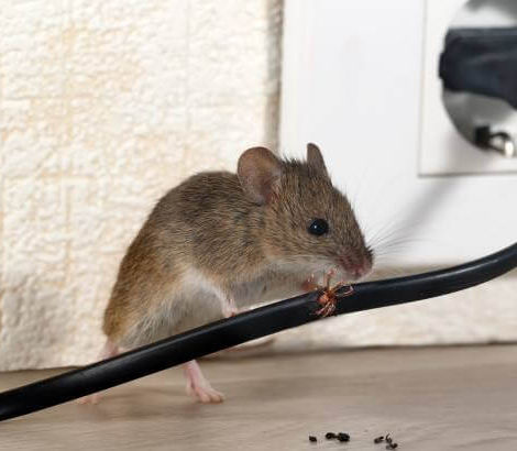 Mouse chewing on wire compressed.jpg