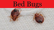 bed bugs on fabric compressed.jpg