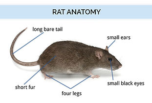 Rat Anatomy Compressed.jpg