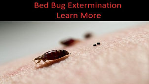 bed bug with bed bug poop