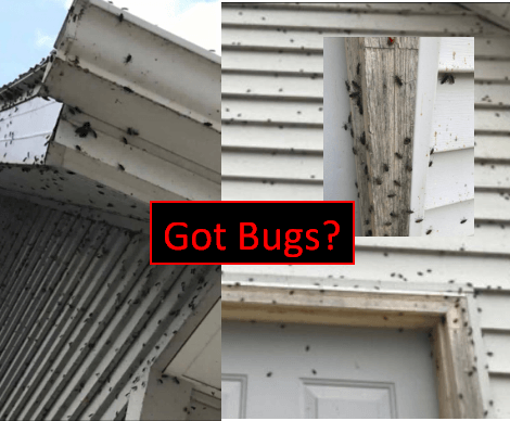 Box Elder Bugs on house compressed.png
