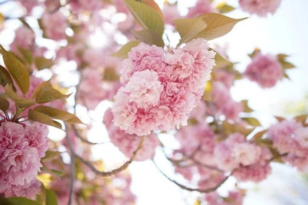 cerisier.jpeg