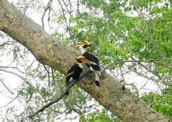 Great Hornbill.JPG