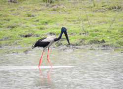 Black necked stork.JPG
