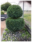 Buxus2.png