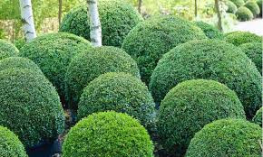 Let's talk Buxus