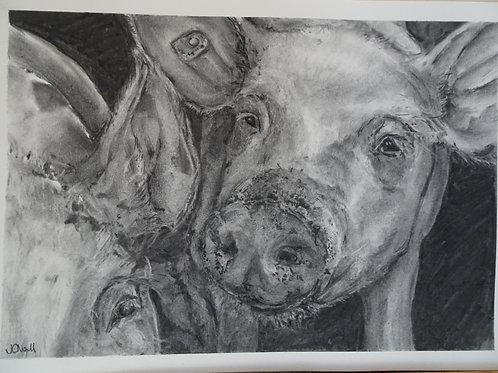 Original Charcoal- Pig (not a print)