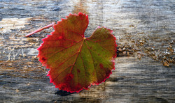 Fall Leaves 11-16-19-6135