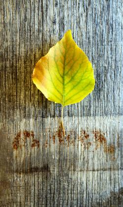 Fall Leaves 11-16-19-6151