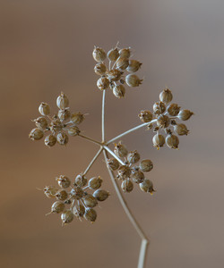 Coriander Seeds-LR-adjusted 1882