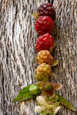 Wood-Berries May 2020-265