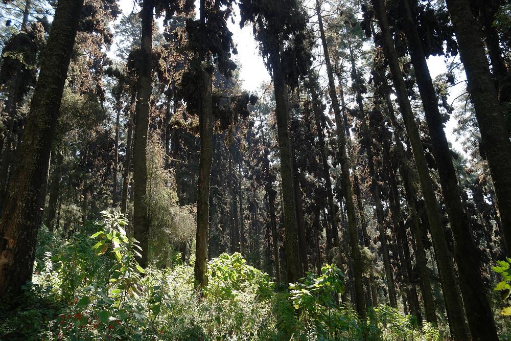forêt-oyamels