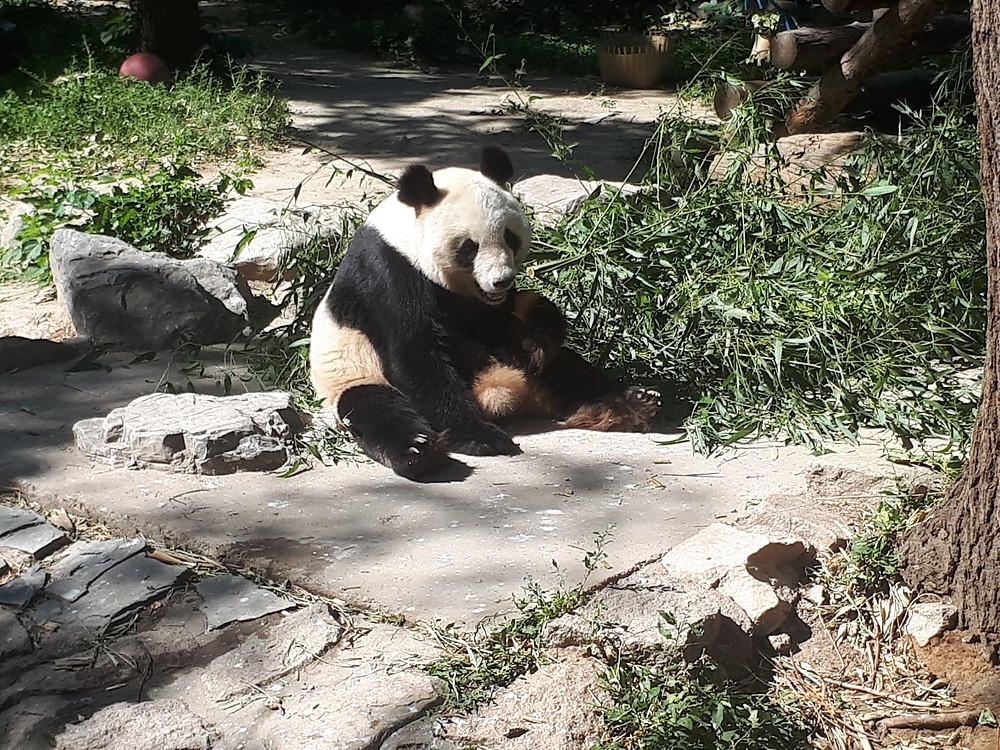 panda-pekin