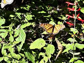 Le sanctuaire des papillons monarques d'El Rosario – Mexique (4-6 février)