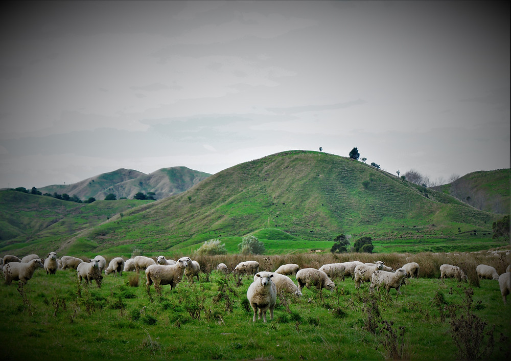 moutons-nz