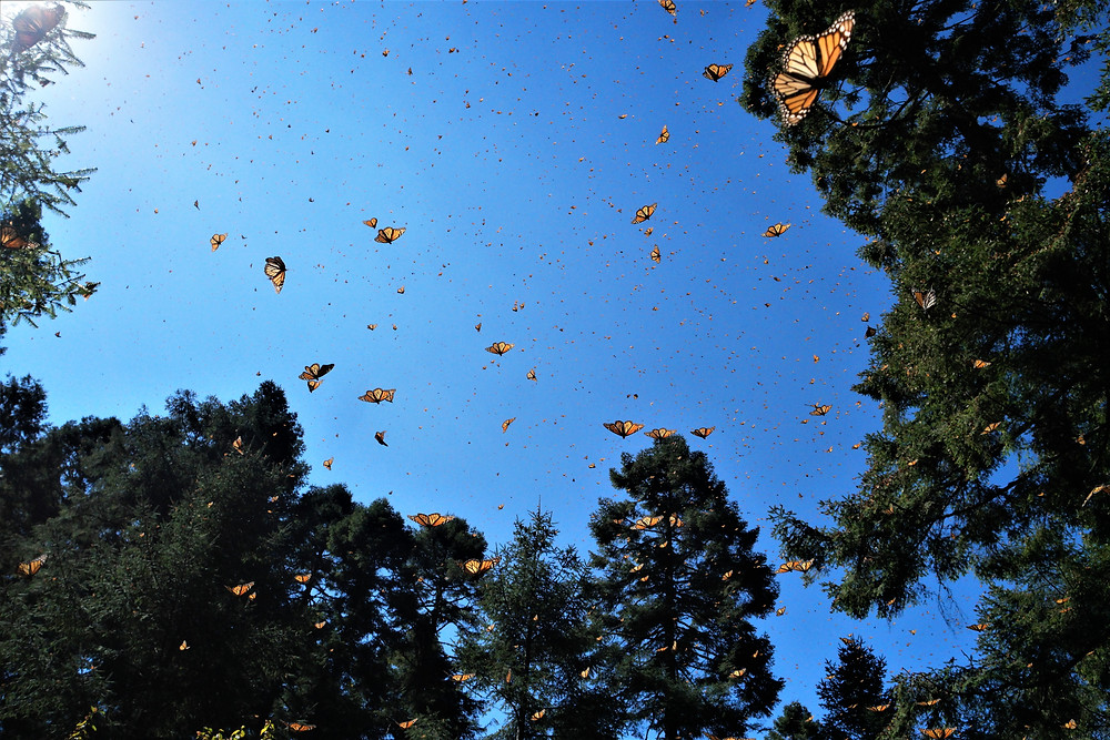 papillons-monarques
