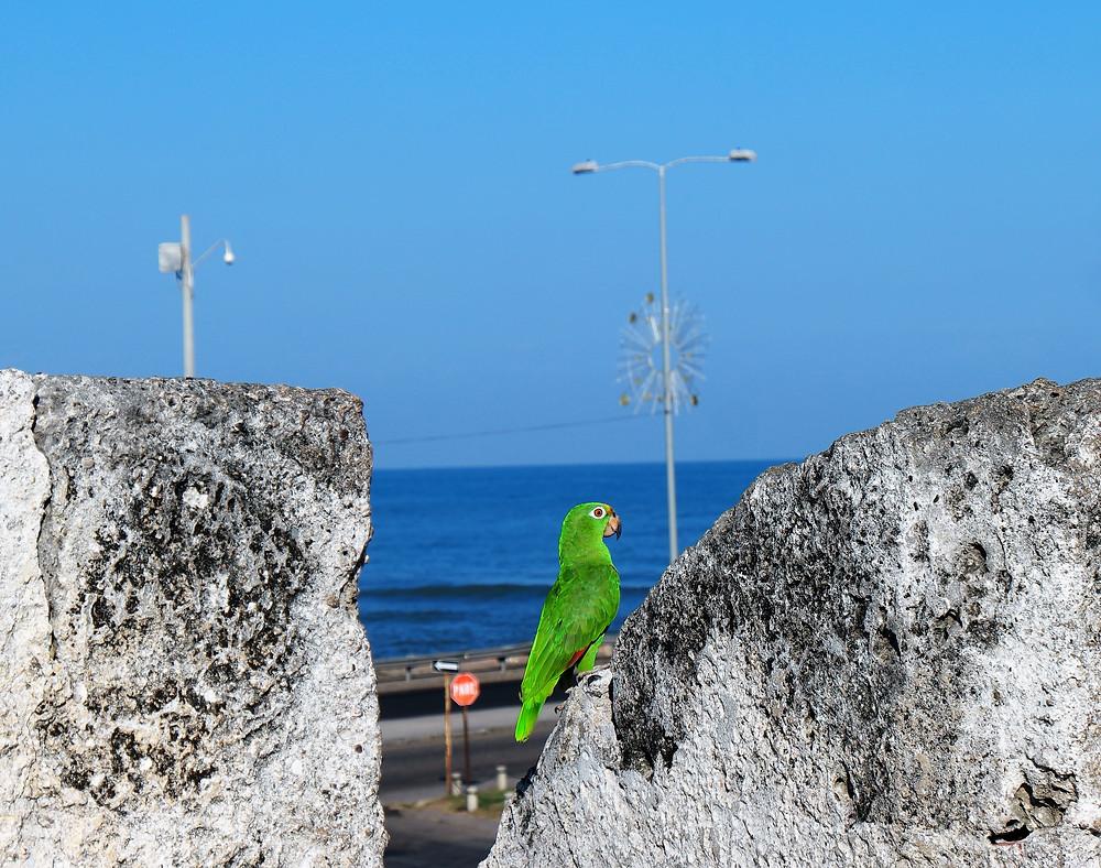 perroquet-carthagene