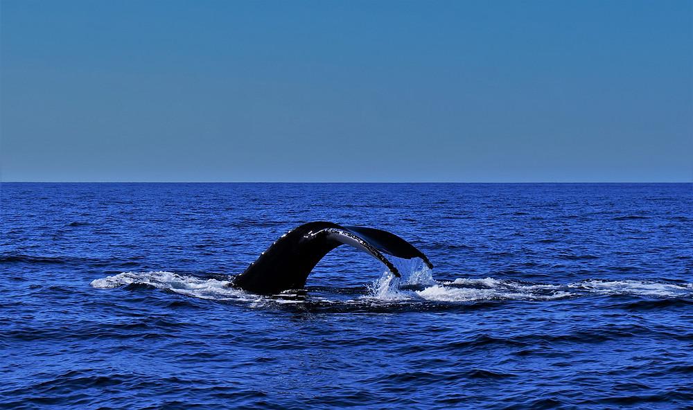 baleine-mazatlan