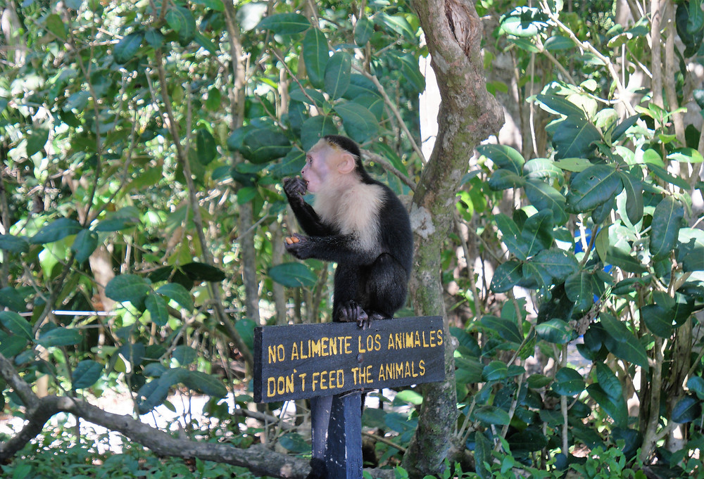 singe-costa rica