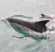 Dolphins of the Bristol Channel