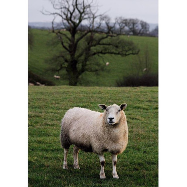 Day 185_ Im watching ewe 🐑 another day