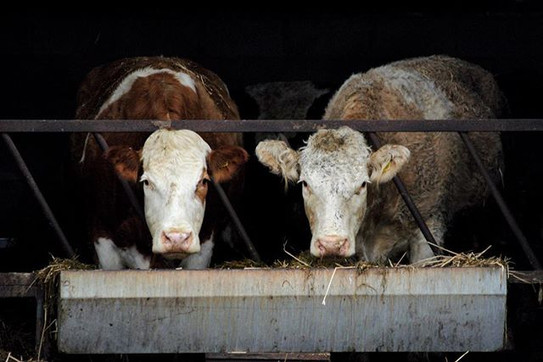 Day 181_ What you staring at_ _#cow #cow
